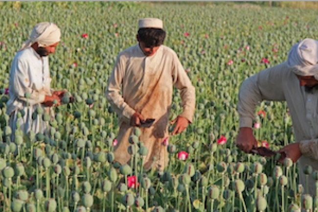 Is Afghanistan's initiative to counter opium production failing farmers?